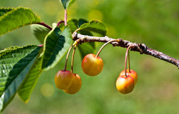 Ripening cherries on branch  Royalty Free Stock Image