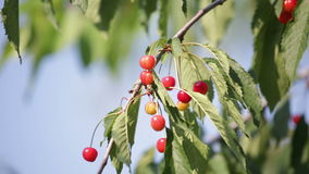 Ripening cherries stock video footage