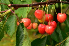 Ripening cherries after the rain Stock Photos