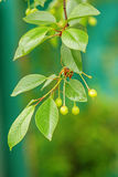 Ripening cherries on a tree in the garden on the farm Royalty Free Stock Photography