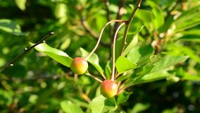 Ripening cherry berries on cherry tree branch on a sunny day. Cerasus avium. Close-up of ripening cherry berries on cherry tree branch with vibrant green leaves stock footage