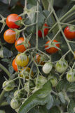 Ripening Cherry Tomatoes. Close-up of cupid tomatoes on the vine in several stages of ripening Stock Image