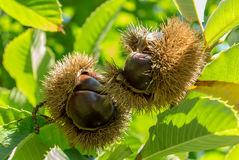Ripening chestnuts on farm tree with green foliage Stock Photos
