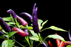 Ripening chili peppers. Stock Image
