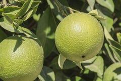 Ripening citrus fruit - Spain. Ripening citrus fruit and foliage on a tree - Murcia Spain royalty free stock photo