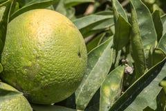 Ripening citrus fruit - Spain. Ripening citrus fruit and foliage on a tree - Murcia Spain royalty free stock photos