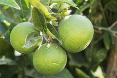 Ripening citrus fruit - Spain. Ripening citrus fruit and foliage on a tree - Murcia Spain royalty free stock image
