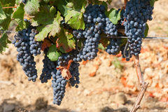Ripening cluster of wine grapes Royalty Free Stock Photography