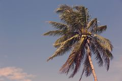 Ripening coconuts on coconut palm. Close-up shot Royalty Free Stock Images