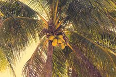 Ripening coconuts on coconut palm. Close-up shot Stock Photography
