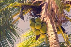 Ripening coconuts on coconut palm. Close-up shot Stock Image