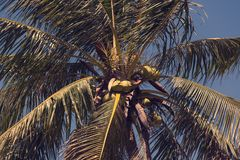 Ripening coconuts on coconut palm. Close-up shot Royalty Free Stock Photography