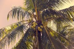 Ripening coconuts on coconut palm. Close-up shot Stock Photo