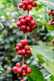 Ripening coffee beans on bush Stock Photography