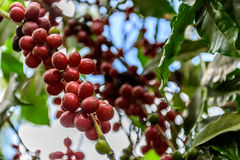 Ripening coffee beans on bush Royalty Free Stock Images