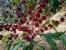 coffee plant with ripe beans Royalty Free Stock Photography