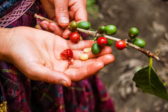 Ripening coffee beans on plant. Ripening coffee beans near Antigua in Guatemala Stock Photography