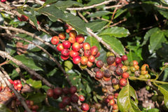 Ripening coffee beans on a tree.  royalty free stock photography