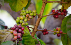 Ripening coffee beans on a tree at plantation Stock Photos