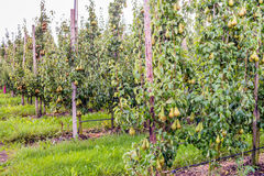 Ripening Conference pears in a modern Dutch orchard Royalty Free Stock Images