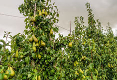 Ripening Conference pears in a modern Dutch orchard Stock Photo