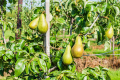 Ripening Conference pears on the tree Royalty Free Stock Images