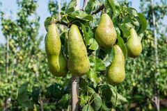 Ripening Conference pears on the tree Royalty Free Stock Photos