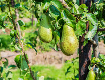 Ripening Conference pears on the tree Stock Photography