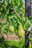 Ripening Conference pears on the trees Stock Photos