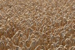 Ripening Corn Stock Photo