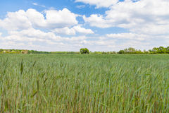 Ripening corn field and a tree Royalty Free Stock Image