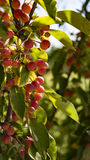 Ripening crabapples Royalty Free Stock Photos
