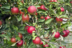 Ripening of a crop of apples Stock Photo