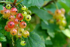 Ripening currants. On bush in garden royalty free stock images