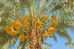 Ripening dates in the blue sky Royalty Free Stock Photos