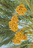 Ripening dates in the blue sky Stock Photo