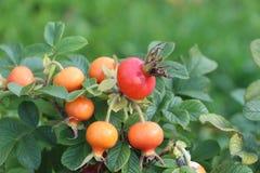 The ripening dog-rose fruits Royalty Free Stock Photos
