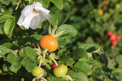 The ripening dog rose fruits Royalty Free Stock Images