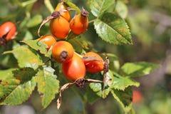 Ripening dog rose fruits and stink bug Royalty Free Stock Photos