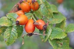 Ripening dog rose fruits and stink bug Royalty Free Stock Photo