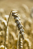 Ripening ear of wheat Royalty Free Stock Photography
