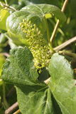 Ripening Early Canadian Grape Vine Royalty Free Stock Photos