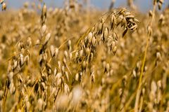 Ear of oats on the background of oat field royalty free stock images