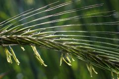 Ripening ears of rye with pollen. Ripening rye in the ear on the background of blurred nature background royalty free stock photography