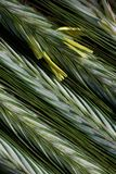 Ripening ears of rye with pollen. Ripening rye in the ear on the background of blurred nature background stock images