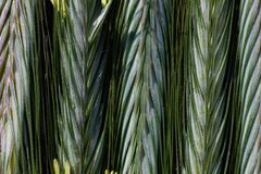 Ripening ears of rye with pollen. Ripening rye in the ear on the background of blurred nature background royalty free stock photo