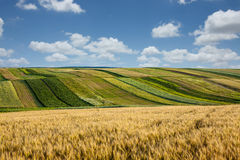 Ripening ears of wheat field. Royalty Free Stock Images