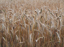 Ripening ears of wheat Royalty Free Stock Photos