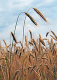 Ripening ears of wheat Stock Photo