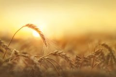 Ripening ears of wheat field. On the background of the setting sun Stock Photo